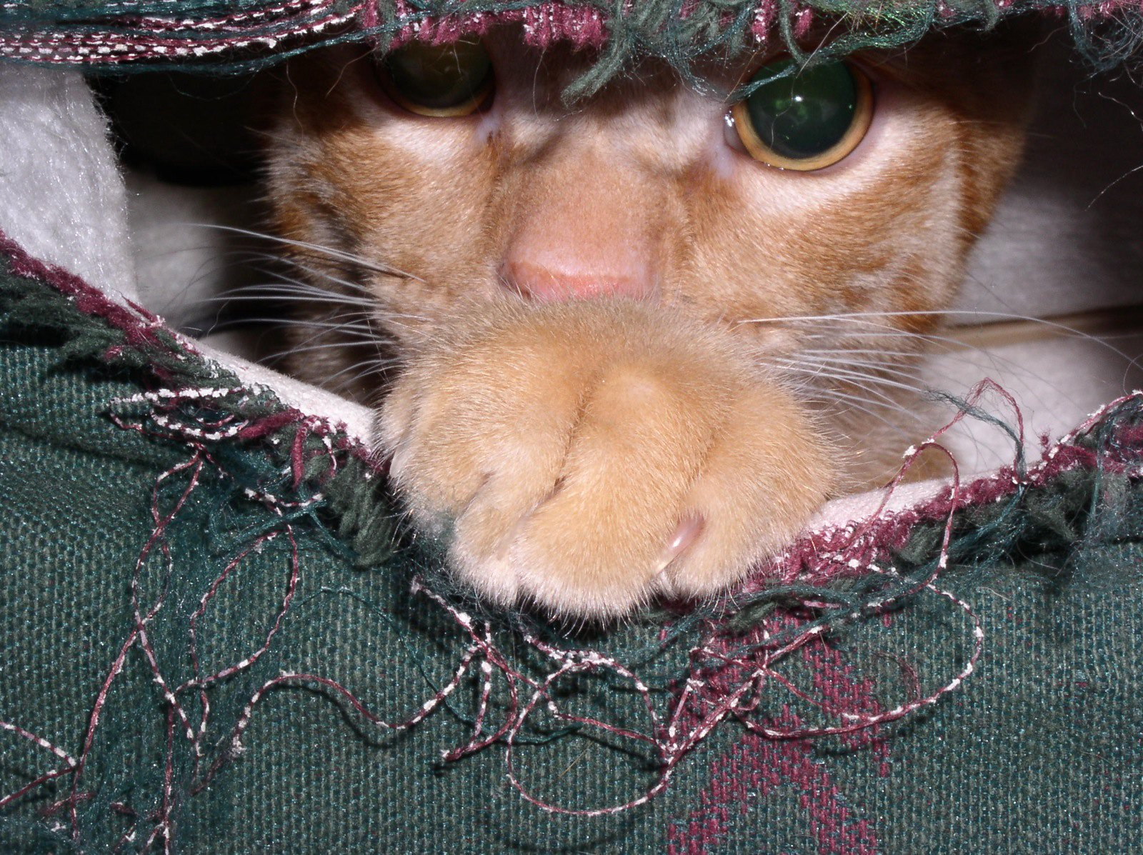 Cat playing peek-a-boo from the inside of a couch. Unlike the damage to the furniture, the cat is adorable.