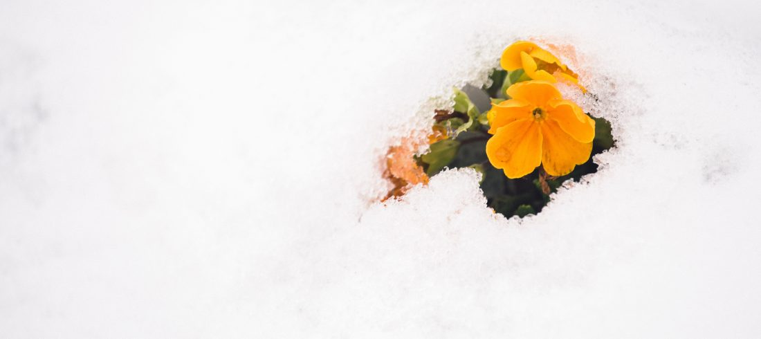Bright yellow flowers peek out through some snow. What have they been up to?
