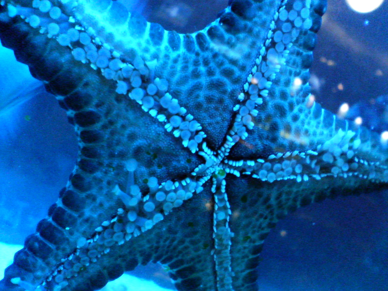 starfish, viewed from below at close range, with false color to make it appear light blue
