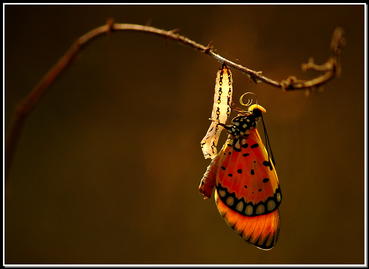 Butterfly clings to empty chrysalis that glows in the evening sun.